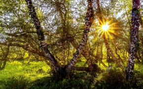 Picture forest, the sun, trees, birch