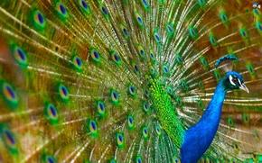 Wallpaper Bird, Peacock, Colorful