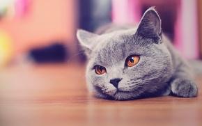 Picture cat, cat, face, floor, looks, Kote