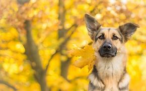 Wallpaper dog, look, autumn, each