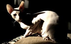 Picture cat, look, bald, Sphinx