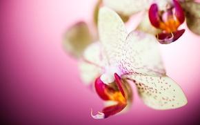 Wallpaper macro, flowers, petals, Orchid