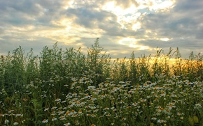 Picture field, the sky, clouds, flowers, nature, photo, chamomile