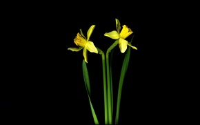 Picture light, background, shadow, petals, stem, Narcissus