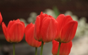 Picture greens, macro, flowers, red, Tulip, spring, tulips