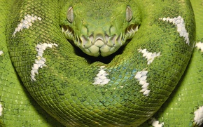 Picture green, snake, Wood Boa