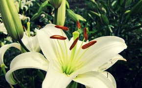 Picture flower, macro, Lily, white