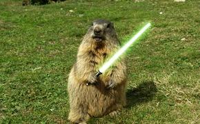 Picture grass, green, sword, marmot