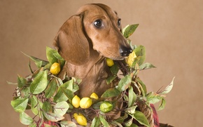 Picture face, portrait, dog, Dachshund, brown, lemons, Wallpaper from lolita777