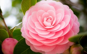 Picture leaves, pink, buds, Camellia
