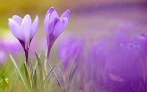 Wallpaper macro, flowers, spring, crocuses