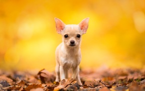 Picture autumn, look, leaves, dog, Chihuahua, doggie, dog