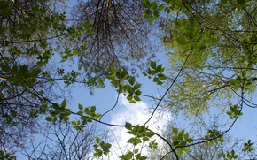 Picture forest, the sky, branches, nature, tree, spring
