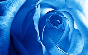Picture flowers, rose, beauty, petals, blue, flower, Rose, blue, beautiful nature wallpapers