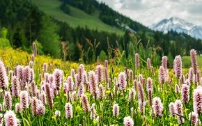 Picture greens, grass, flowers, mountains, nature, Alps, meadow, Tyrol, Seefeld, Tirol, Seefeld