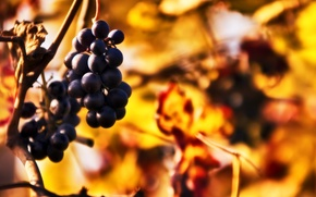 Picture autumn, sprig, blur, grapes, bokeh, bunches