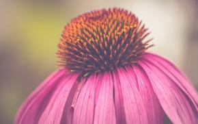 Picture flower, pink, bokeh, petals, echinacea