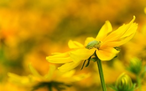 Picture flower, flowers, background, yellow