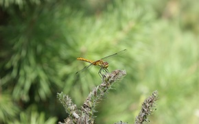 Picture insects, nature, dragonfly, widescreen