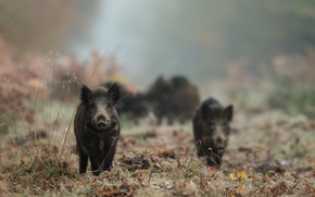 Picture forest, fog, boars
