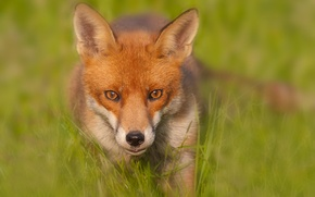 Wallpaper blur, Fox, Red Fox