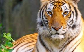 Picture cat, eyes, look, tiger, predator, king, tiger, eyes, cat, predator, king, look, king