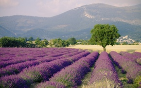 Picture landscape, nature, France, field, lavender, Provence