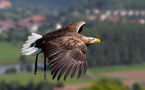 Wallpaper flight, wings, bird, eagle