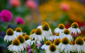 Picture flowers, chamomile, bokeh