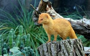 Picture stump, Czech Republic, snag, Slender mongoose (Galerella sanguinea, Zoo Praha), Troja, Пражский зоопарк (Zoological garden …