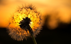 Picture flower, sunset, dandelion, blade