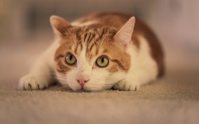 Picture cat, look, pose, white-red