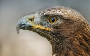 Picture predator, Bird, profile, eagle, Detlef Knapp