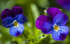 Picture macro, Duo, bokeh, Pansy, Viola tricolor