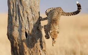 Picture face, tree, jump, paws, Cheetah, claws, Savannah