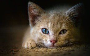 Picture cat, eyes, close-up, kitty, background, portrait, red, muzzle, lies, Mat, the expression, blue-eyed, nerd