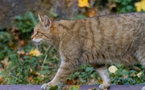 Picture cat, leaves, profile, wildcat, wild cat