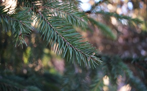Picture greens, forest, macro, green, sprig, tree, beauty, spruce, branch, trunk, pine, brown, bumps, blurry, bokeh, …