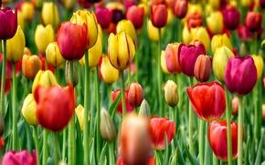 Picture field, garden, meadow, tulips