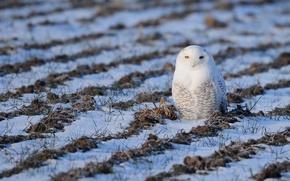 Picture white, grass, snow, white, grass, snow, snowy owl, Snowy owl