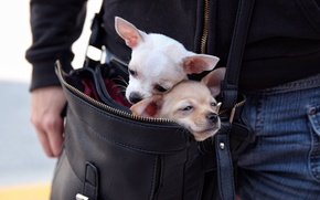 Picture dogs, bag, a couple, Chihuahua, moving, faces