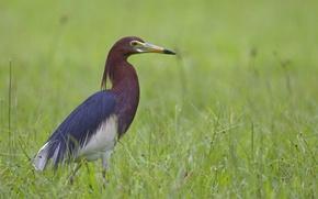 Picture grass, bird, Heron