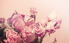 Picture flowers, macro, tenderness, dried, light, roses, color, pink