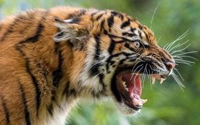 Picture face, tiger, predator, grin, wild cat, aggressive