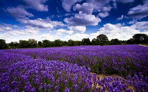 Picture field, the sky, clouds, trees, flowers, lavender