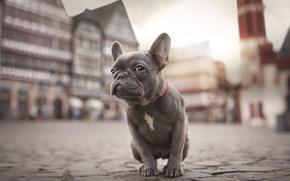 Picture the city, dog, puppy, bulldog