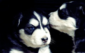 Picture black, puppies, husky, cute, puppies