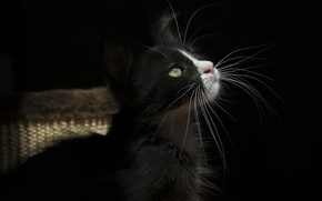 Wallpaper cat, cat, mustache, light, the dark background
