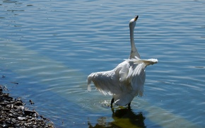 Picture animals, white, lake, pond, river, background, widescreen, Wallpaper, wallpaper, Swan, widescreen, background, beautiful Wallpaper, the …