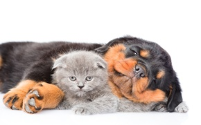 Picture kitty, Rottweiler, puppy, Dog, Cat, Kittens